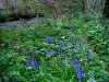 bluebells-and-wild-garlic