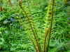 fern-with-unrolling-fronds-2