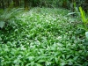 Carpet of wild-garlic